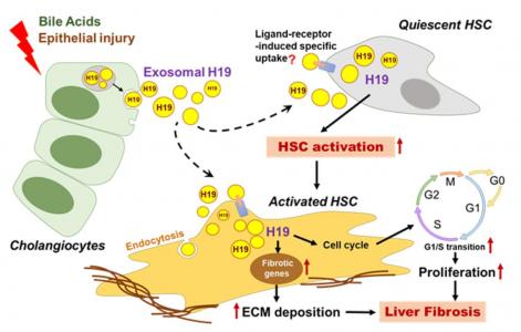 Hepatology:胆管细胞外泌体LncRNA H19促进肝星状细胞活化和胆汁淤积性肝纤维化