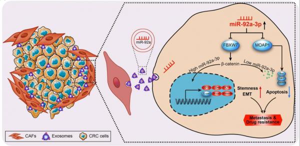 南方医科大学:CAFs外泌体通过增强结直肠癌的干性和EMT促进肿瘤转移和化疗耐药