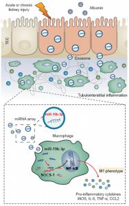 东南大学附属中大医院:肾小管上皮细胞分泌外泌体miRNA在肾损伤中促进M1巨噬细胞的活化