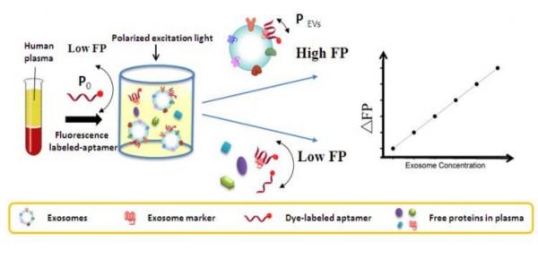 中科院化学所:无需分离纯化,基于适体的荧光偏振测定法可用于外泌体定量