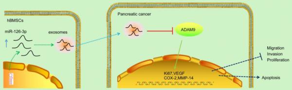 江苏师范大学:骨髓间充质干细胞衍生的外泌体miRNA-126-3p通过靶向ADAM9抑制胰腺癌的发展