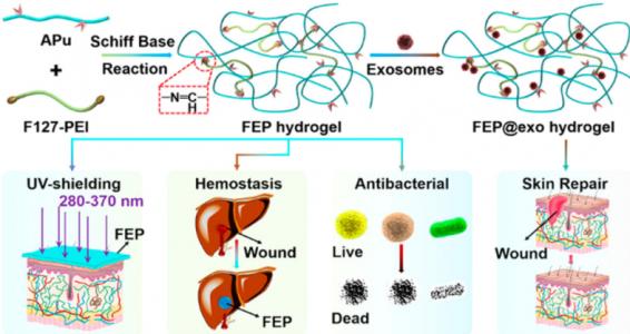西安交通大学:FEP@exo——一种新的基于外泌体的水凝胶敷料用于糖尿病伤口愈合和皮肤重建