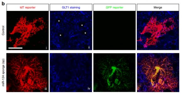 Nature子刊:外泌体报告基因小鼠揭示外泌体参与神经元与星形胶质细胞的通讯