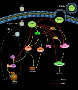 中南大学湘雅三医院:心脏祖细胞来源的外泌体通过抑制CVB3病毒增殖来减轻CVB3诱导的心肌细胞凋亡