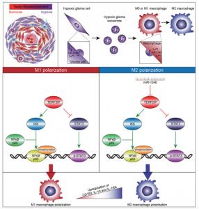 山东大学齐鲁医院:缺氧胶质瘤衍生的外泌体传递miRNA-1246诱导M2巨噬细胞极化
