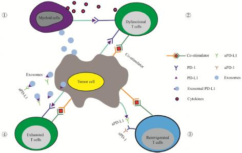 江苏大学附属人民医院综述:外泌体PD-L1在肿瘤进展和免疫治疗中的作用