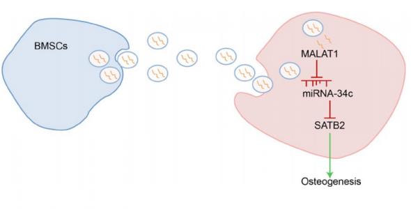 中南大学湘雅医院:骨髓间充质干细胞分泌的外泌体携带LncRNA MALAT1改善骨质疏松症