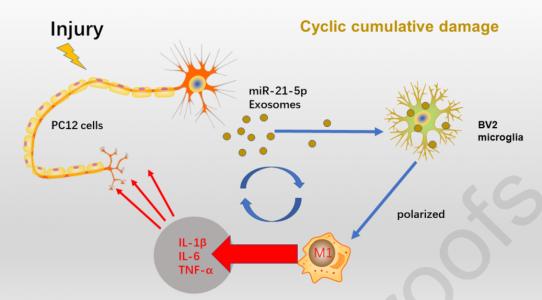 天津医科大学总医院:神经元外泌体携带miR-21-5p促进小胶质细胞的M1极化