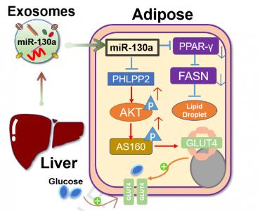 华南农业大学:肝脏外泌体来源的miR-130a-3p通过调节脂肪细胞来减弱葡萄糖耐量