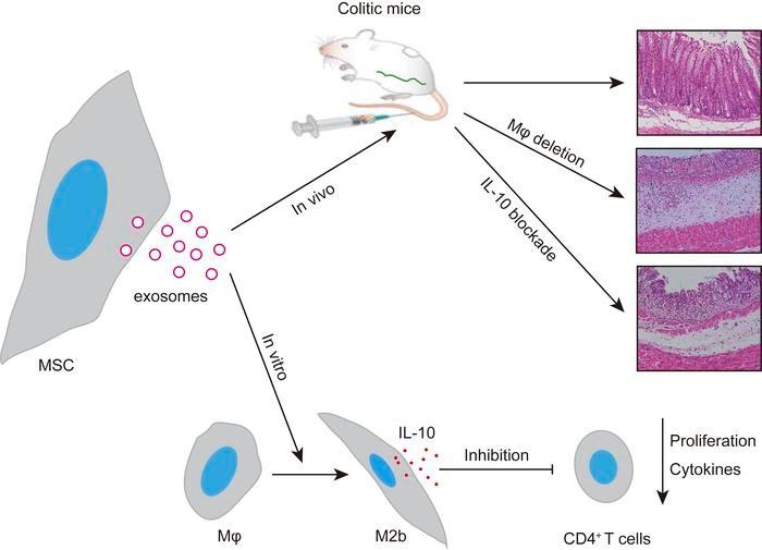 中山大学:间充质干细胞分泌的外泌体通过巨噬细胞依赖性机制减轻小鼠结肠炎