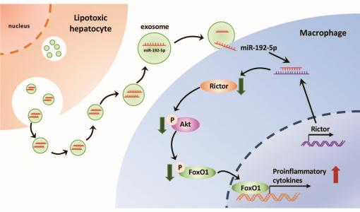 上海交通大学医学院:脂毒性肝细胞分泌的外泌体miR-192-5p激活巨噬细胞引起非酒精性脂肪肝疾病