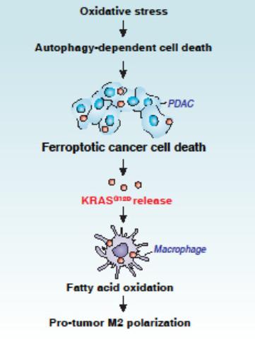 自噬依赖的铁死亡诱导KRAS蛋白经外泌体释放 驱动肿瘤相关巨噬细胞的极化