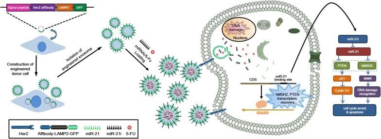 东南大学:工程化的外泌体通过共递送miRNA抑制剂和化疗药物,逆转结肠癌的耐药性
