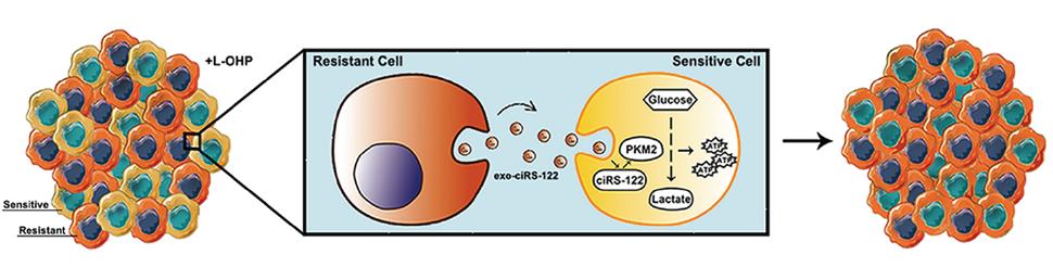 【Mol Oncol】天津医科大学巴一,应国光团队: 外泌体circRNA调控肿瘤耐药性