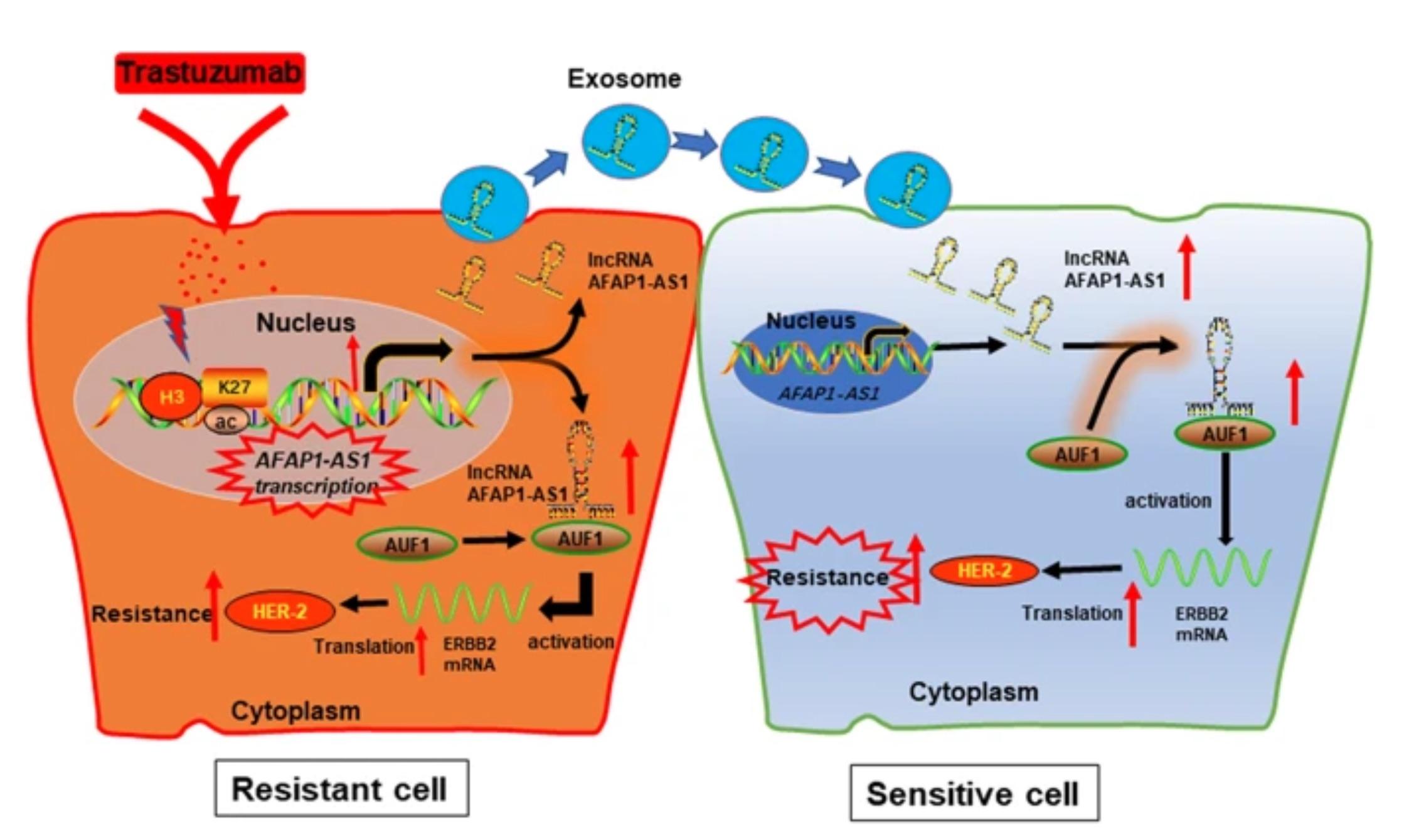 外泌体携带的lncRNA介导肿瘤细胞对曲妥珠单抗的耐药性