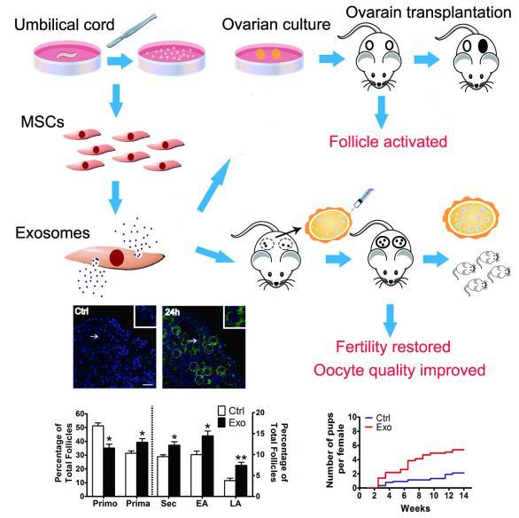 南京医科大学:人脐带间充质干细胞来源的外泌体减缓了老年小鼠的生育力下降