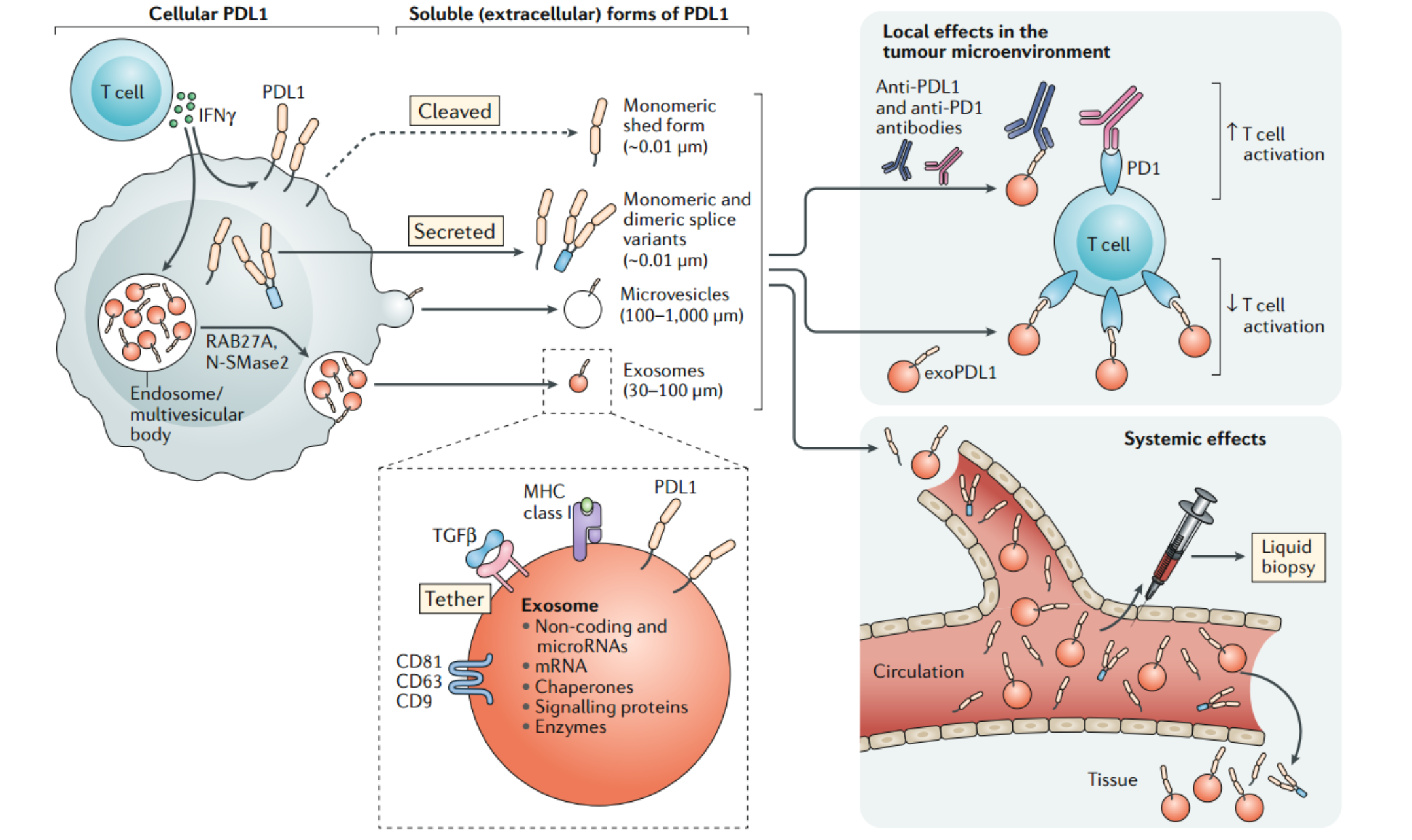 44分Nature综述:外泌体PDL1在肿瘤免疫逃逸中的重要性