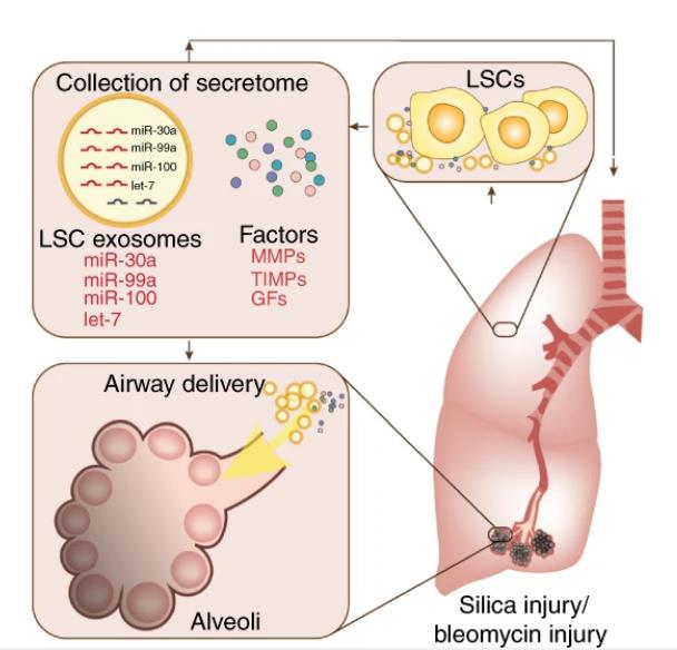 Nature Communications:肺球细胞的分泌组和外泌体帮助促进肺纤维化后的肺修复