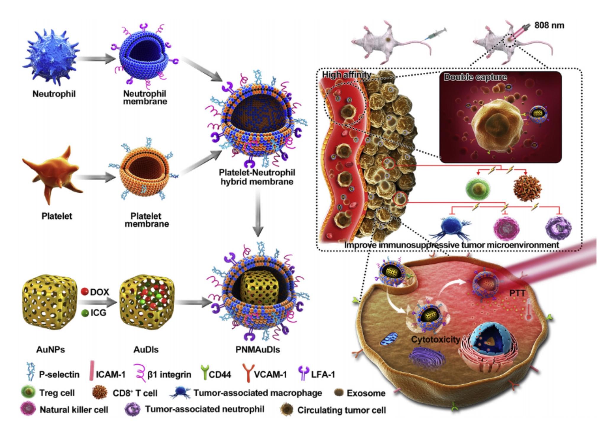 沈阳药科大学:仿生纳米海绵消除肿瘤来源的外泌体并抑制乳腺癌转移