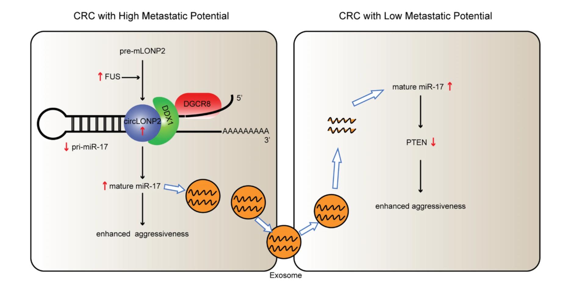 中山大学:circLONP2通过调节miRNA-17的成熟并经外泌体扩散来帮助结直肠癌转移
