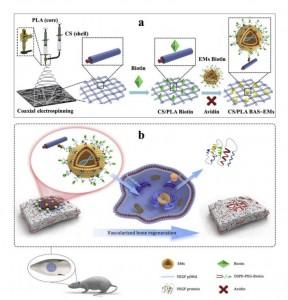 华中科技大学:工程化的外泌体类似物作为基因激活基质诱导原位血管化骨再生