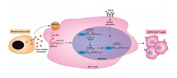 浙江大学医学院:乳腺癌来源的外泌体传递lncRNA诱导CD73+ γδ1 Treg细胞的产生