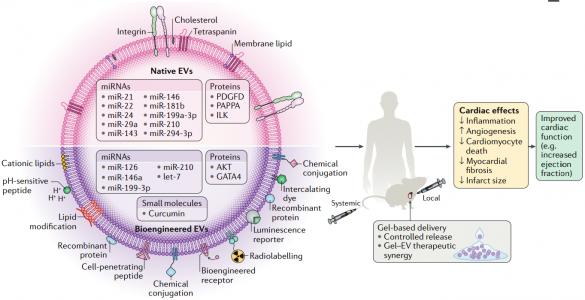 Nature子刊综述:天然和生物工程化的细胞外囊泡用于心血管疾病治疗