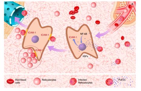 Nature子刊:间日疟原虫患者血浆EVs通过NF-κB促进寄生虫的脾脏粘附