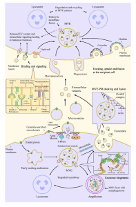 武汉大学:细胞外囊泡衍生RNA在癌症发生,进展,转移和癌症免疫学中的综合概况