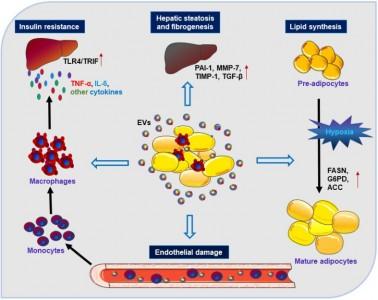 南开大学人民医院综述:脂肪来源的细胞外囊泡在代谢稳态和代谢疾病中的作用