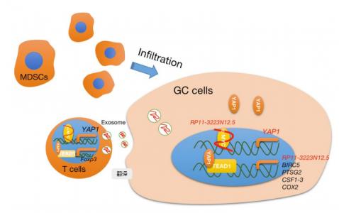 江苏大学:lncRNA RP11-323N12.5通过外泌体和增强YAP1转录促进胃癌恶性转化