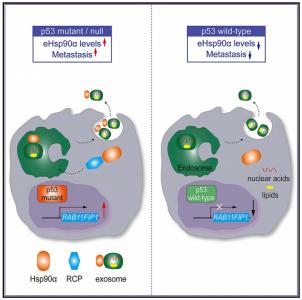 清华大学:p53突变通过RCP介导的Hsp90α经外泌体分泌驱动肿瘤转移
