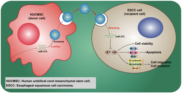 郑大一附院:人脐带间充质干细胞来源的外泌体传递miRNA-375延缓食管鳞状细胞癌的进展