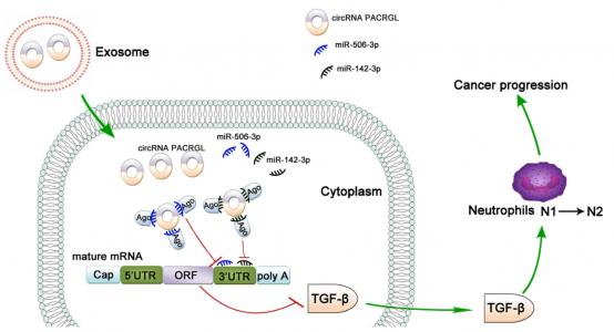 同济大学医学院:外泌体circPACRGL通过调节miRNA-TGFβ1促进结直肠癌的进展