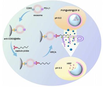 上海大学:基于DNA扩增反应的金属有机框架材料鉴定乳腺癌PD-L1阳性外泌体