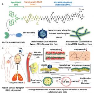 哈尔滨医科大学:可转化的双重抑制系统经外泌体阻断肿瘤干细胞有效抑制肾癌转移