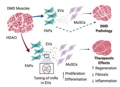 科学家发现了一种基于细胞外囊泡的新方法治疗杜氏肌营养不良症