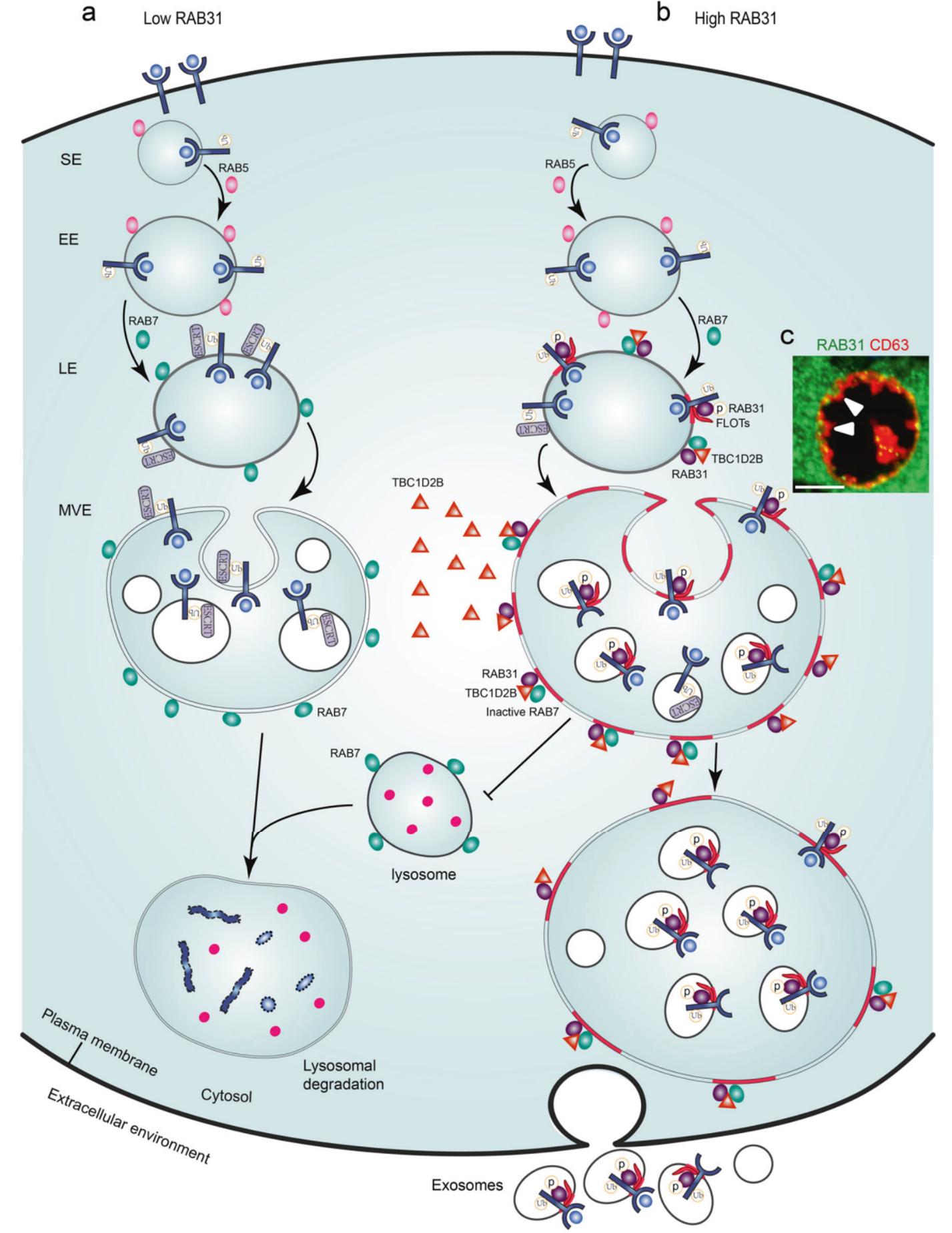 Cell Res:外泌体研究新突破,康铁邦团队发现全新外泌体形成通路