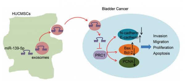 青岛大学附属医院:间充质干细胞来源的外泌体miRNA-139-5p通过靶向PRC1抑制膀胱癌的肿瘤发生