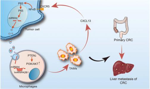 复旦大学附属肿瘤医院:肿瘤来源的外泌体miR-934诱导巨噬细胞M2极化促进结直肠癌肝转移