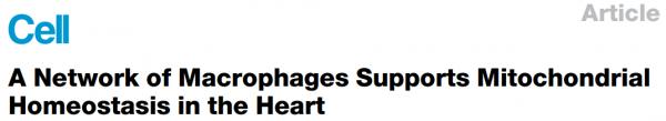 Cell:心肌细胞EVs排出受损线粒体,被巨噬细胞清除,维持心脏功能