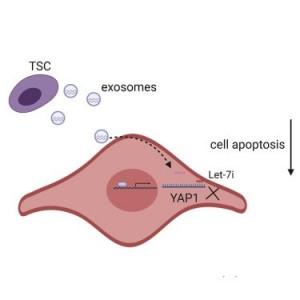 南京大学医学院:滋养层干细胞来源的外泌体通过调节YAP途径改善扩张型心肌病