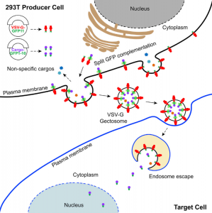 Cell子刊:可编程的细胞外囊泡用于大分子递送和基因组修饰