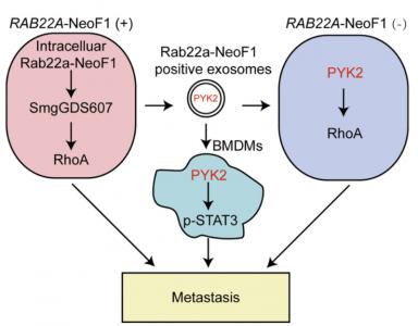 中山大学:外泌体中的Rab22a-NeoF1融合蛋白促进骨肉瘤肺转移