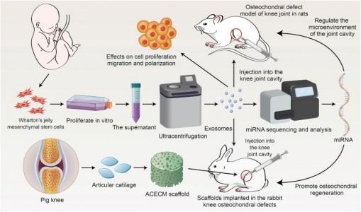 中国医科大学:华顿氏胶来源的间充质干细胞外泌体促进骨软骨再生
