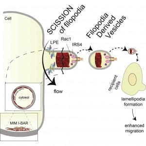 """Dev Cell:细胞""""指尖""""变形为细胞外囊泡助力细胞间通信"""