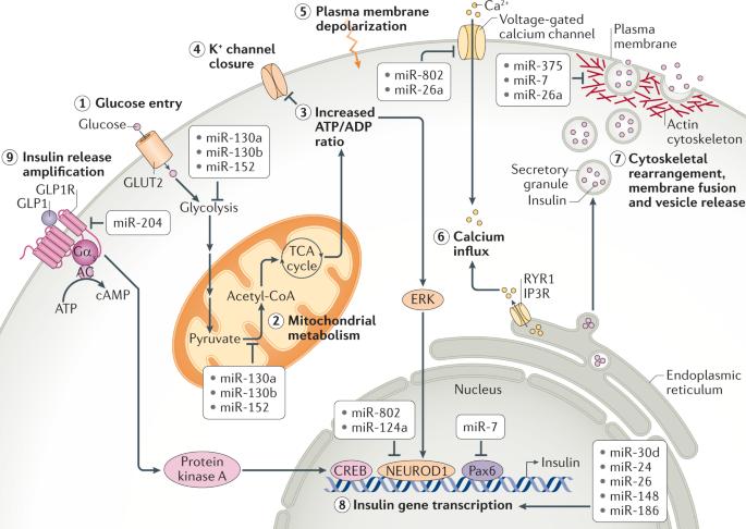 55分Nature Reviews:miRNA介导的葡萄糖和脂质代谢调节