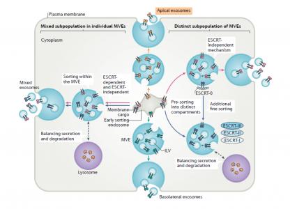 为什么鉴定外泌体需要同时使用电镜、NTA和Western Blotting