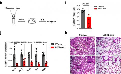 广东省医学科学院:干扰素刺激的外泌体hACE2有效抑制新冠病毒复制和感染