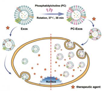 天津大学&天津医科大学 磷脂酰胆碱工程化的外泌体用于增强的肿瘤细胞摄取和胞内抗肿瘤药物递送